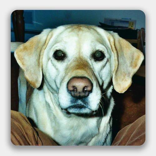 a yellow dog